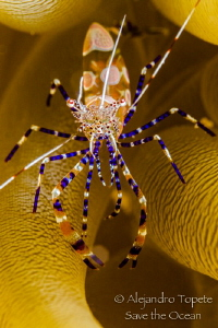 Fantasy Shrimp close up, Klein Bonaire Reef, Bonaire by Alejandro Topete