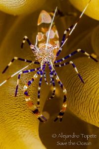 Fantasy Shrimp close up, Klein Bonaire Reef, Bonaire by Alejandro Topete