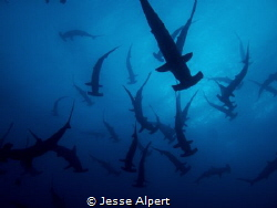 Scalloped Hammerhead School at Darwin Island, Galapagos. ... by Jesse Alpert