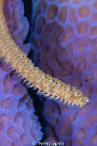 Bearded Fireworm makes its way over Azure pastures by Henley Spiers