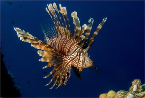 A Devil firefish (Pterois miles) While on assigment in Ya... by Chris Pienaar