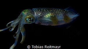 Squid at night, Puerto Galera by Tobias Reitmayr