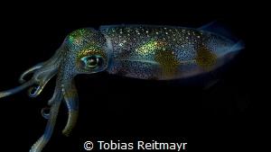 Squid at night, Puerto Galera by Tobias Reitmayr