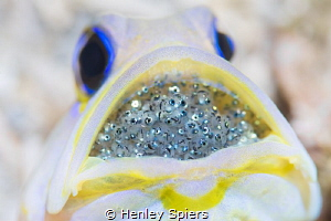 Yellowhead Jawfish & Eggs by Henley Spiers