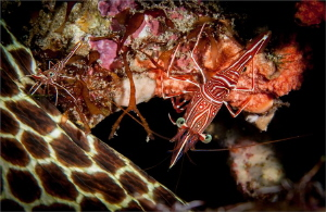 A Durban Dancer shrimp mounting a Honeycomb eel fro soem ... by Chris Pienaar