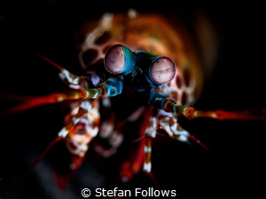 Oh Googly Bear! Peacock Mantis Shrimp - Odontodactylus sc... by Stefan Follows