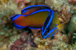 A Dutoiti Dottyback (Pseudochromis dutoiti) . One of the ... by Chris Pienaar