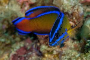 A Dutoiti Dottyback (Pseudochromis dutoiti) . One of the ... by Chris Pienaar