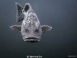 Hot Lips!  Potato Bass - Aliwal Shoal - South Africa by Gemma Dry