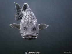Hot Lips!  Potato Bass - Aliwal Shoal - South Africa by Gemma Dry