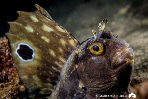 Big Blenny, night dive @ Sorrento by Marco Gargiulo
