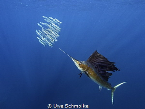 Hunting sardines by Uwe Schmolke