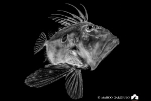 John Dory, BW version, Night Dive @ Marina Grande Sorrento by Marco Gargiulo