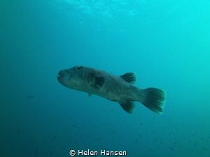 Pufferfish by Helen Hansen