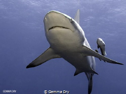 Blacktop with Remora Sidekicks - Aliwal Shoal- South Africa by Gemma Dry