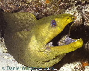 Green Moray by Daniel Waldman