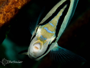 This Banded Butterflyfish just seemed love watching himse... by Patricia Sinclair