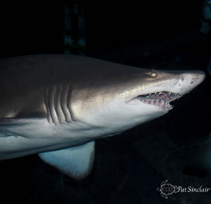 Taken at Aquarium of the Americas - Sand Tiger Shark by Patricia Sinclair