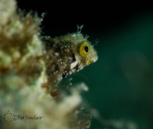 I love this little rough head blenny. by Patricia Sinclair