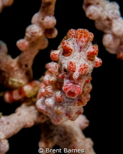A pygmy seahorse head on in Lembeh Strait, Indonesia by Brent Barnes