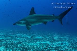 Hammerhead Shark, Isla Darwin Galápagos by Alejandro Topete