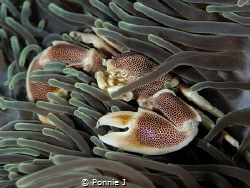 Porcelain Crab by Ponnie J