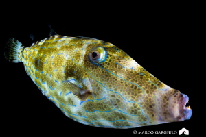 Filefish, night dive at Dharavandhoo by Marco Gargiulo