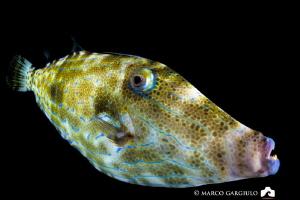 Filefish, night dive at Dharavandhoo by Marco Gargiulo