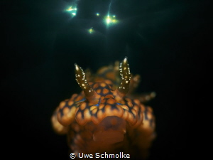 Miamira sinuata by Uwe Schmolke