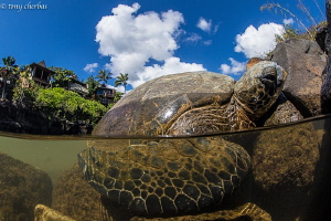 Honu in the Hood: These Green Sea Turtles come in from th... by Tony Cherbas