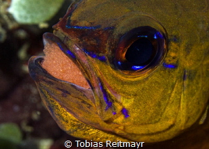 Cardinalfish with eggs, Sabang Wrecks, Puerto Galera by Tobias Reitmayr