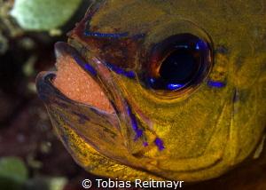 Cardinalfish with eggs, Sabang Wrecks, Puerto Galera by Tobias Reitmayr