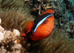 """Anemonefish"" The biggest variation of anemonefish I've e... by Christine Hamilton"