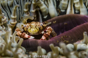 Hiding away( Anemone crab) by Leena Roy