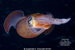"""Siphon On Dark Blue""  A Caribbean reef squid dances in... by Susannah H. Snowden-Smith"