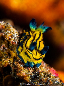 Heart of the Sun. Nudibranch - Tambja sp. Bali, Indonisia by Stefan Follows