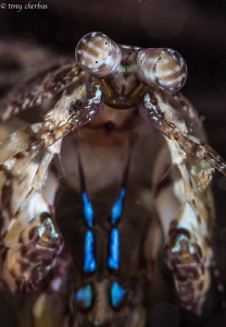 Very Small Mantis Shrimp. Kauai, HI by Tony Cherbas
