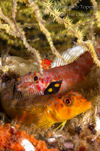 Two Fishes in Coral, Marshal Island Galapagos by Alejandro Topete