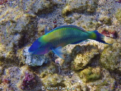 Parrotfish, Kona, Hawaii by Alison Ranheim