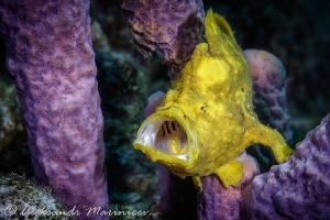 Frog fish by Aleksandr Marinicev