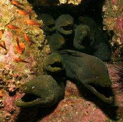 The Morays of Malpelo Island, Colombia by Ofer Ketter