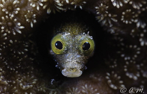 Blenny by Aleksandr Marinicev
