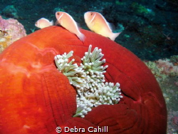 Pink Anemonefish Bali Indonesia by Debra Cahill
