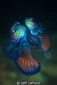 Mandarinfish Mating Dance- captured the moment when sperm... by Jeff Lafrenz
