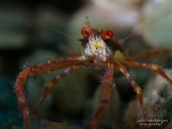 Critter Long-Limbs: a Common Squat Lobster (Munida pusill... by Jade Hoksbergen