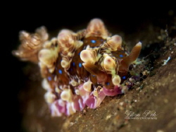 D R E A M  L A N D  Nudibranch (Dendrodoris denisoni)  by Lilian Koh