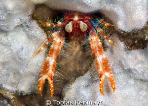 Bug-eyed squat lobster, Montani, Puerto Galera by Tobias Reitmayr