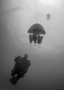 Silhouette - barrel jellyfish. The Manacles - Cornwall. by Mark Thomas