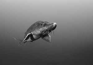 Sturgeon - b&w by Mark Thomas