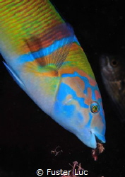 Peacock wrasse male looking for invertebrates in algae. ... by Fuster Luc